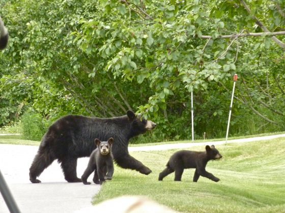 "Black bears cross a residential road in ""Nature - Bears of the Last Frontier: The Road North"""