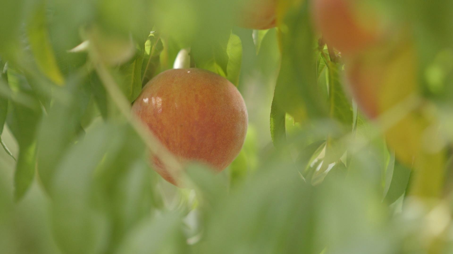 Agri_Arkansas_Peach_Pickin