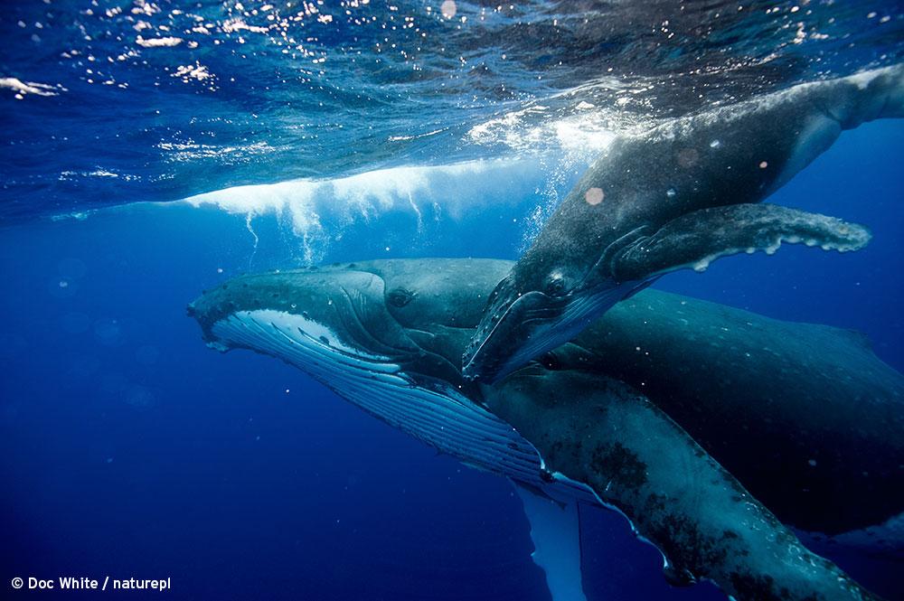 Big_blue_Live_Humpback-Whale-Edit