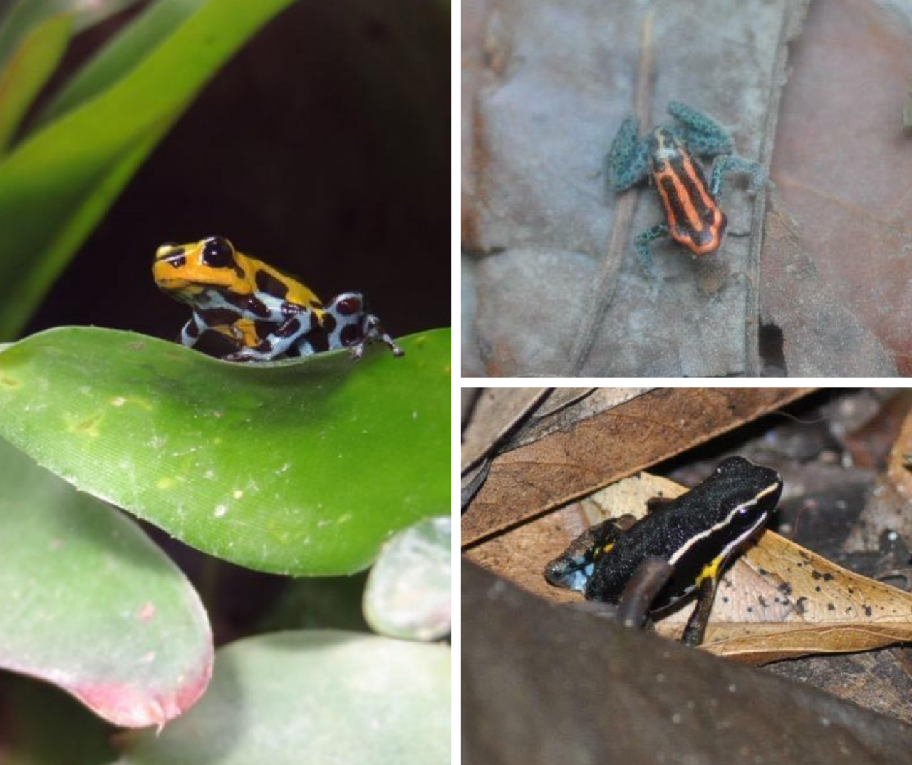 Various poison dart frogs from Chris Teem's Amazon explorations