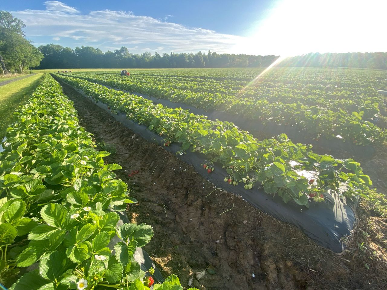 Strawberry plant rows at Barnhill Orchards