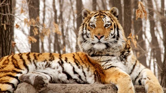 """Nature: Siberian Tiger Quest"""