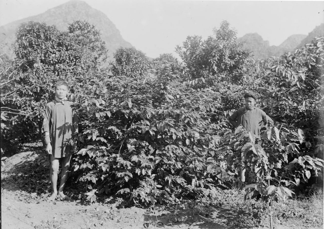 Coffee Trees on the Cressoniere Plantation near Kecheu, 1898