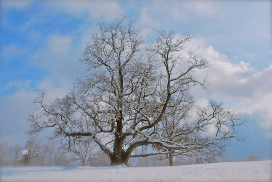 """Champion Trees"" Northern Catalpa in December Snowfall"