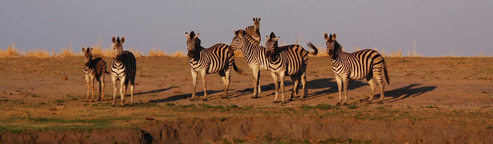 A group of zebra on the floodplains of the Chobe River in Chobe National Park, Botswana