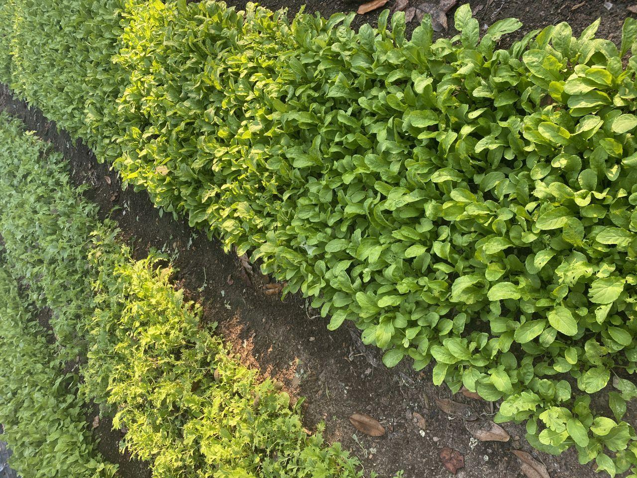 Rows of freshly hoed winter greens pop through the soil at Birdeye Farms