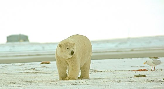 """Nature - Bears of the Last Frontier: Artic Wanderers"" airs Wednesday, Aug. 25, at 7 p.m."