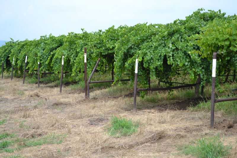 Exploring Arkansas - a vineyard in Altus, Arkansas's Wine Country