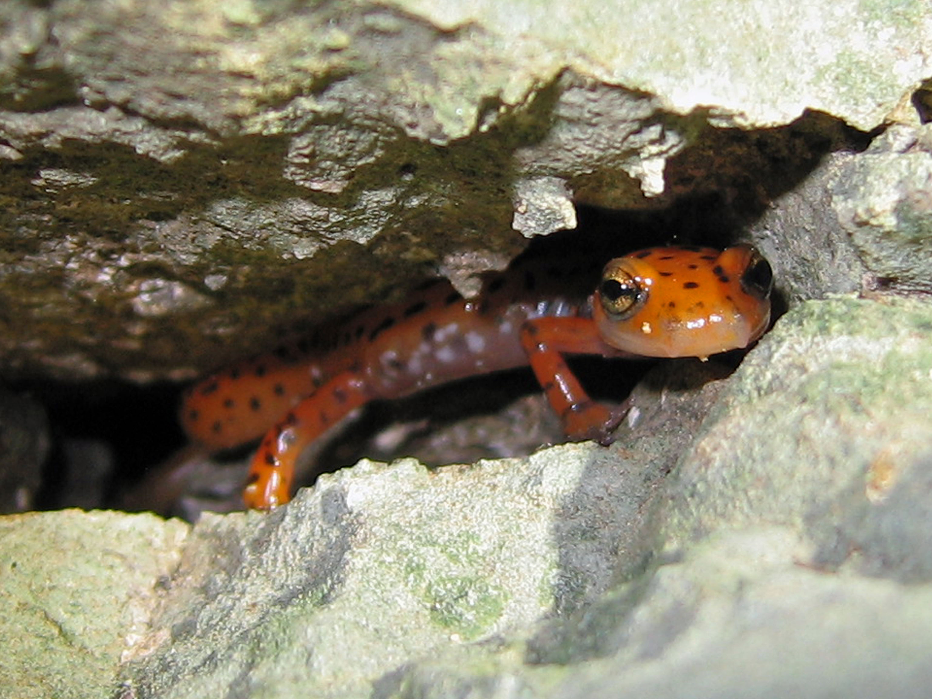 Cave_Salamander_Eurycea_lucifuga