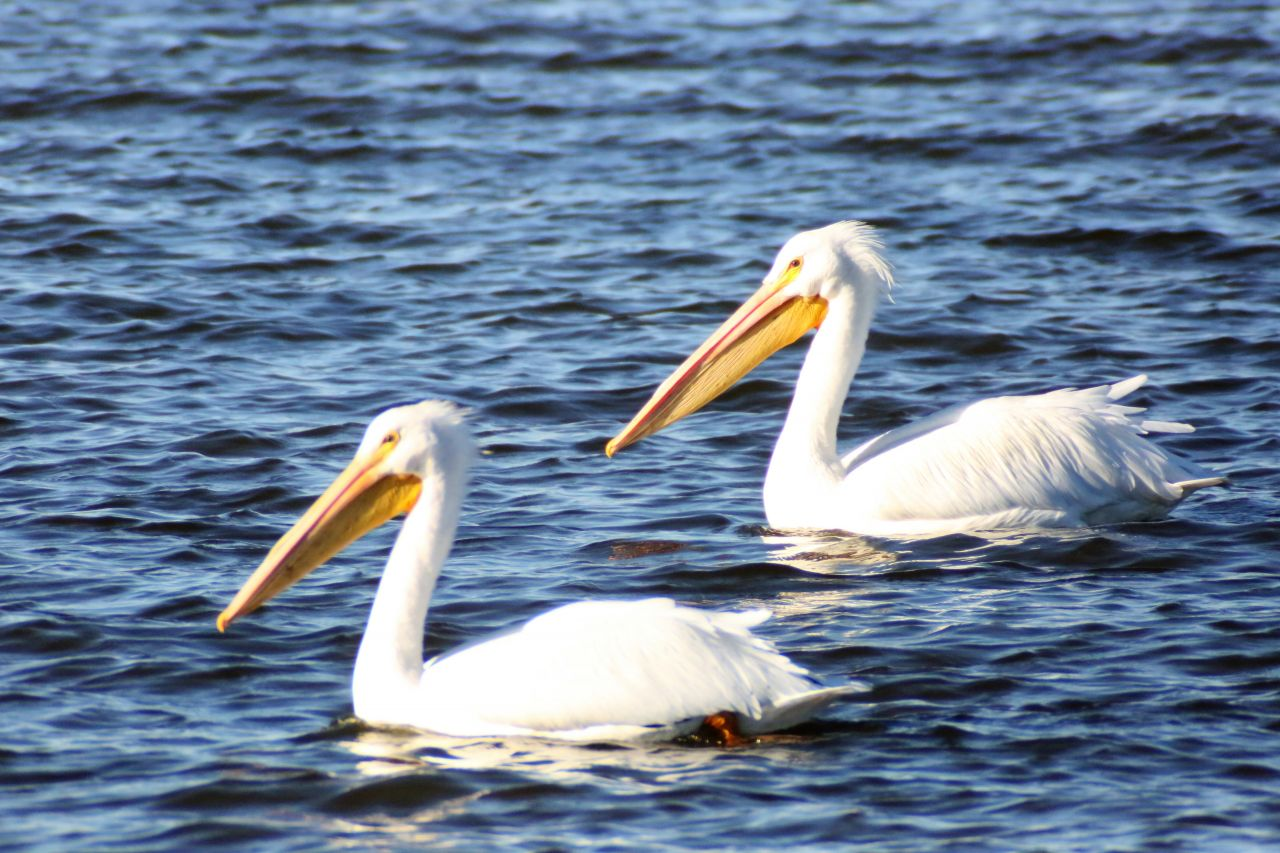 Exploring Arkansas Lake Conway White Pelicans