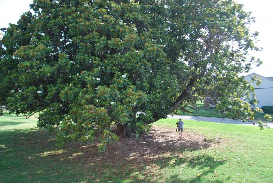 Arkansas's Champion Tree Magnolia in Texarkana, Ark.