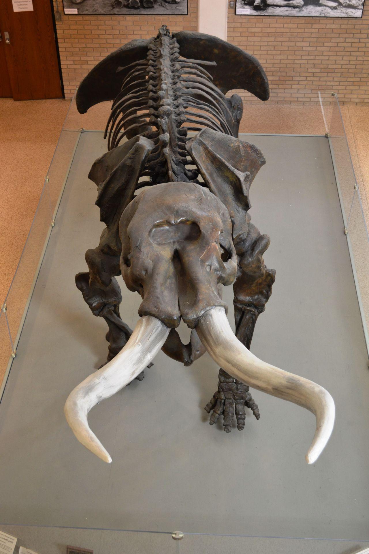 Exploring Arkansas Arkansas State University Museum Mastodon