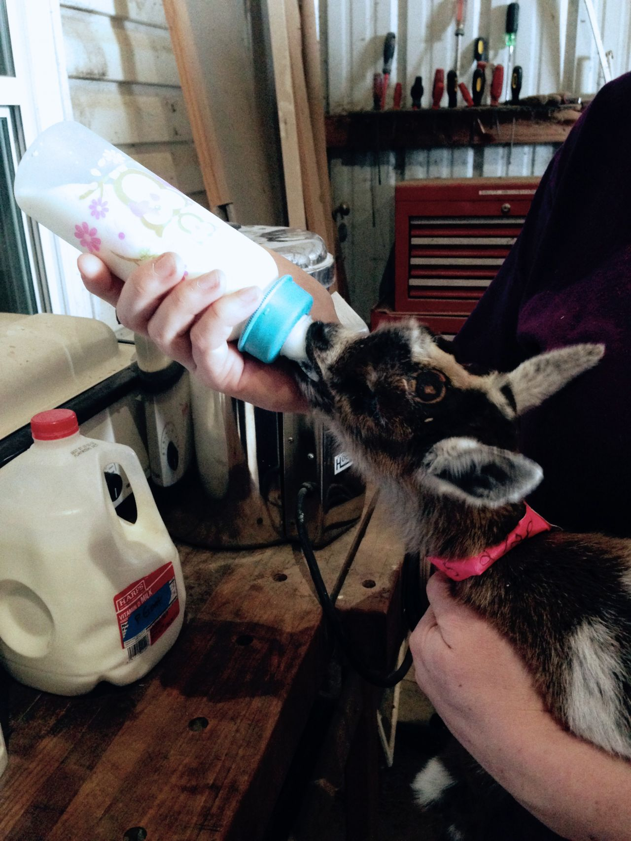 Cook With Brooks: Baby Goat Bottle Feeding