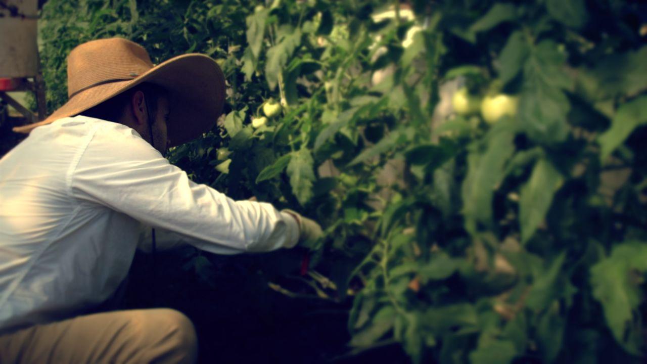 Agri Arkansas Little Rock Urban Farming Tomato Trellising