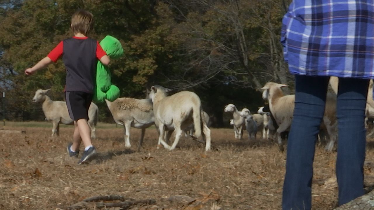 PBS NewsHour Weekend NWACS Child with Hanna Family Ranch Sheep