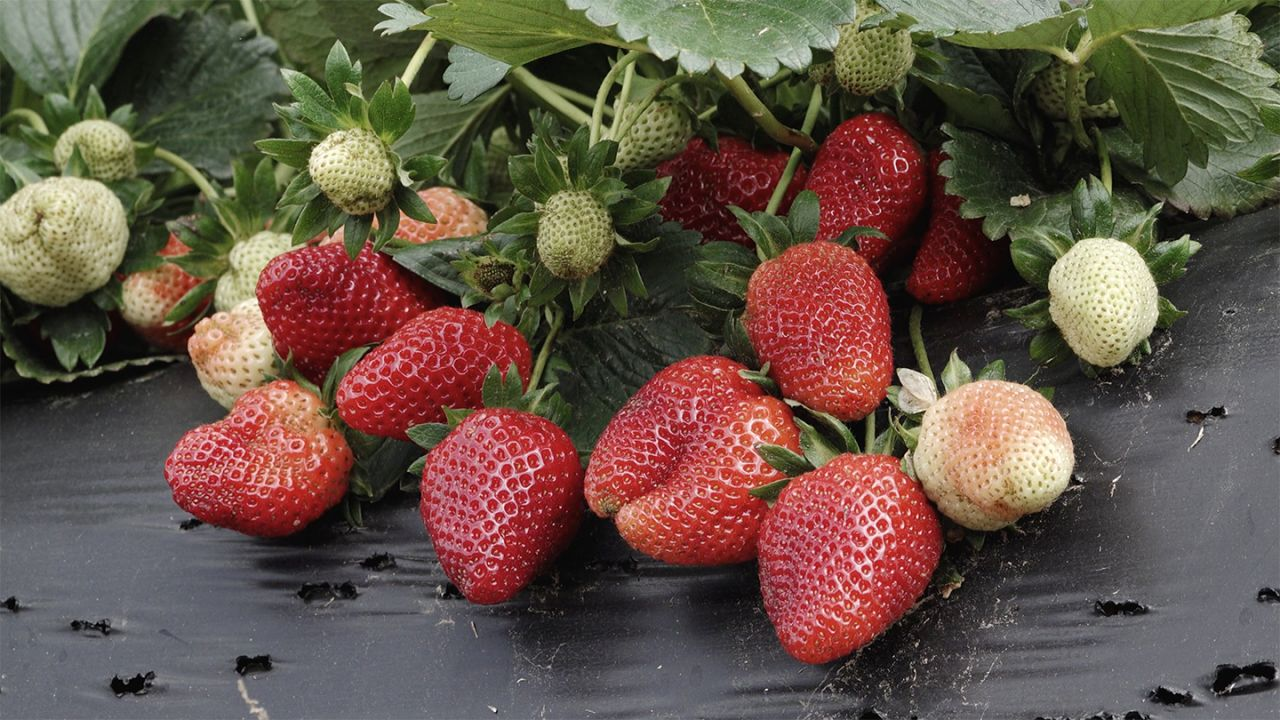 Cook With Brooks Fresh Arnold Family Farm Strawberries