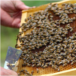 bees in bee hive